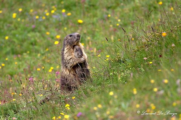 Marmotte - marmot (2).JPG