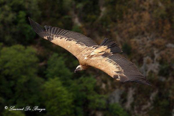 Vautour fauve - griffon vulture1.JPG