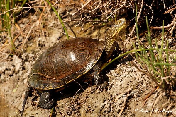 Cistude d'Europe - european pond turtle.