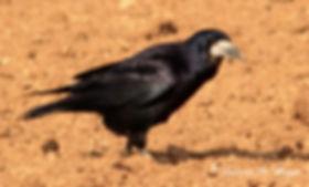 Corbeau freux.JPG