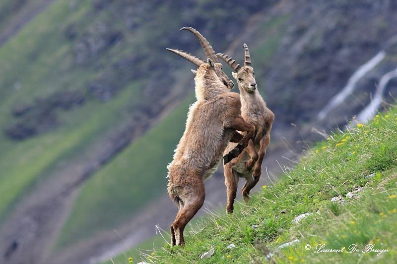 Bouquetin - ibex (2)