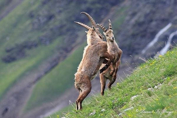 Bouquetin - ibex (2).JPG