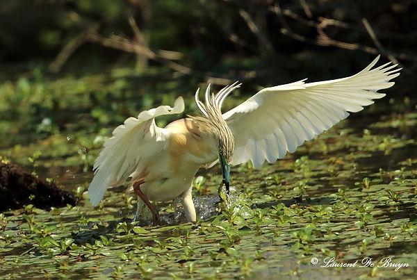 Crabier chevelu - squacco heron (1).JPG