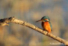 Martin_pêcheur_-_kingfisher.JPG