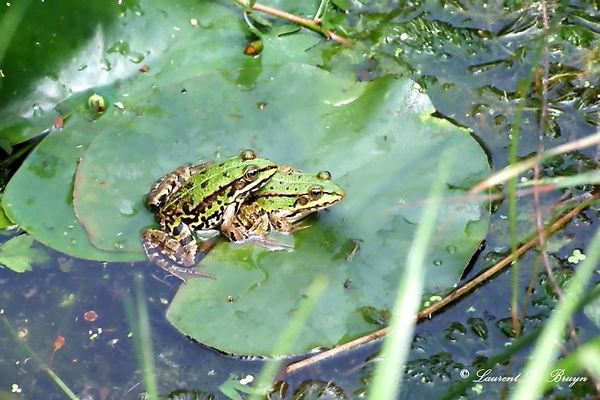 Grenouille verte - green frog.JPG