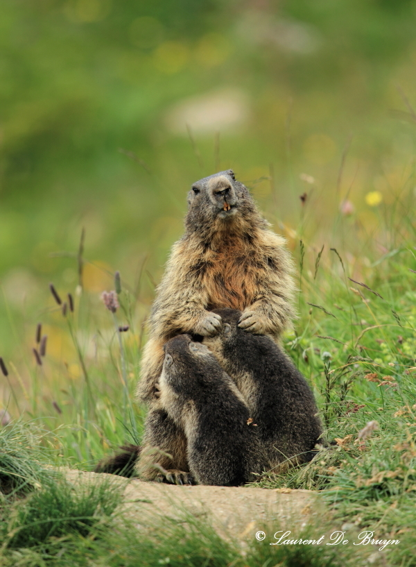 Marmotte - marmot (3)