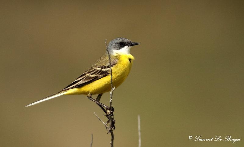 Bergeronnette_printanière_-_yellow_wagta