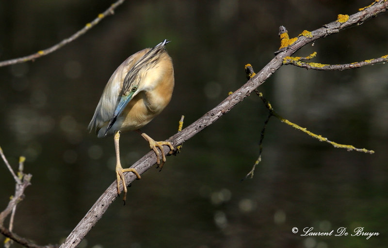 Crabier chevelu - squacco heron (3).JPG