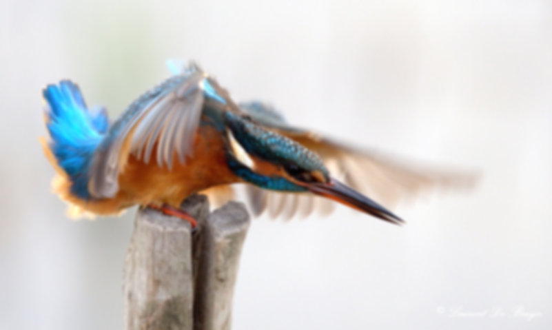 Martin-pêcheur_-_kingfisher_edited.jpg