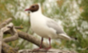 Mouette rieuse.JPG