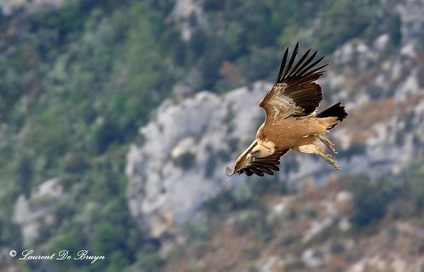 Vautour fauve - griffon vulture.JPG