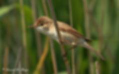 Rousserolle effarvatte - Reed warbler.JP