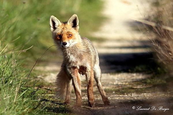 Renard roux - red fox.JPG