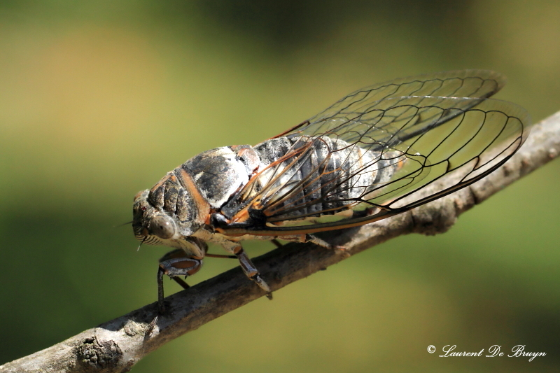 Cigale - cicada