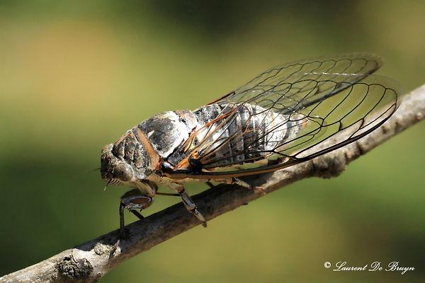 Cigale - cicada.JPG