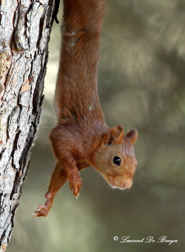Ecureuil roux - red squirrel