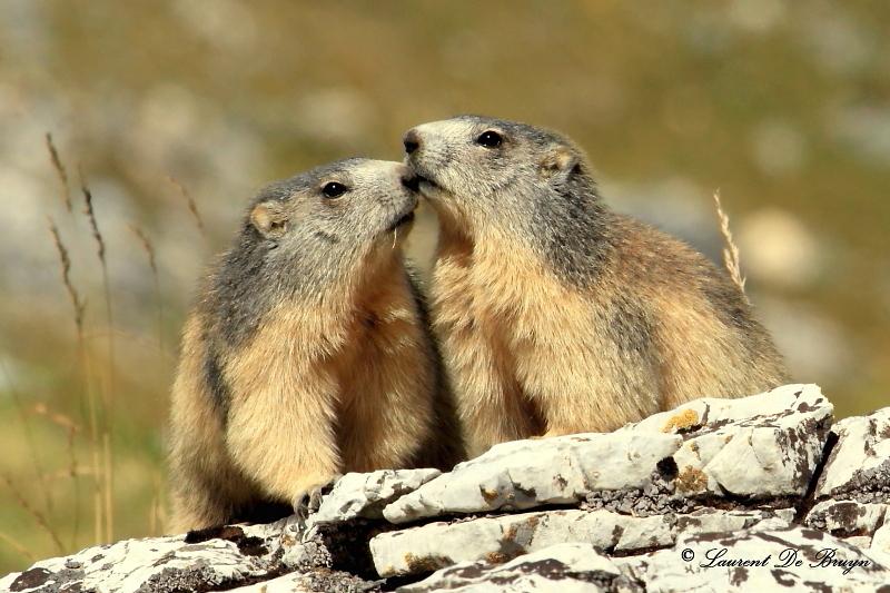 Marmotte - marmot (1)