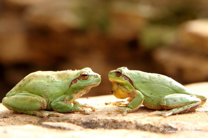 Rainette verte - green tree frog