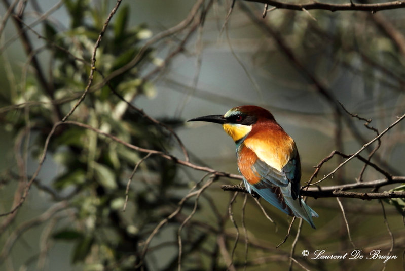 Guêpier d'Europe - European bee-eater.JP