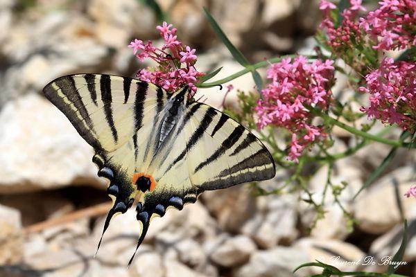 Machaon - swallowtail butterfly.JPG