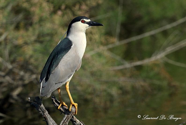 Bihoreau gris - night heron.JPG