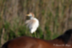 Héron garde-boeufs - cattle egret.JPG