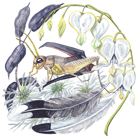 Watercolor Illustration: a cricket emerging from a mockingbird's open beak, wreathed in fasle indigo (rattleweed), white bleeding heart, wormwood, and mockingbird feathers. These bitter treasures.