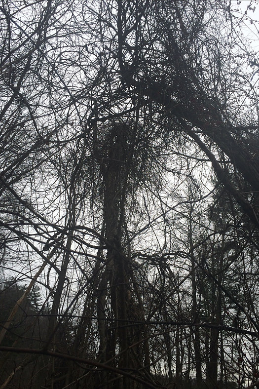 Photograph: looking up into the tangled boughs of bare, winter trees drowing in bittersweet vines, receding into fog.