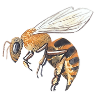 Watercolor Icon: flying honey bee