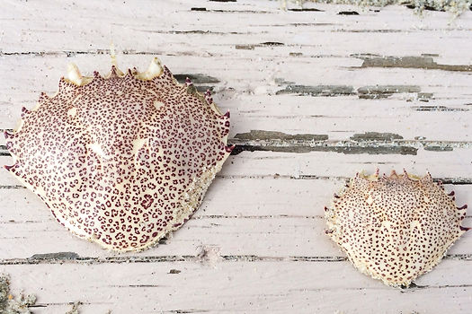 Photograph: two pale and frail, leopard-print crab shells on a wooden plank at a beach.