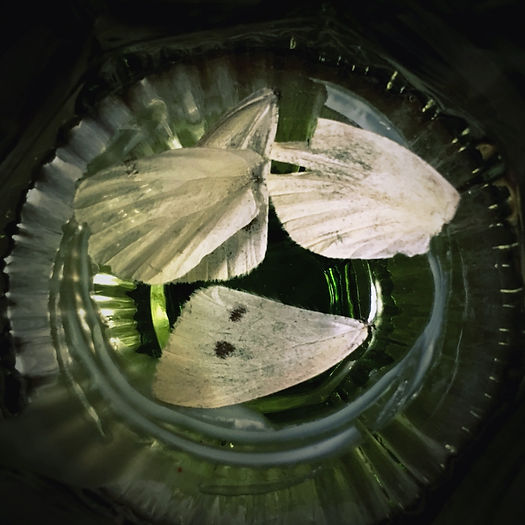 Photograph: four disembodied cabbage-white butterfly wings in a green, vintage desert glass with candle wax rings at the bottom.