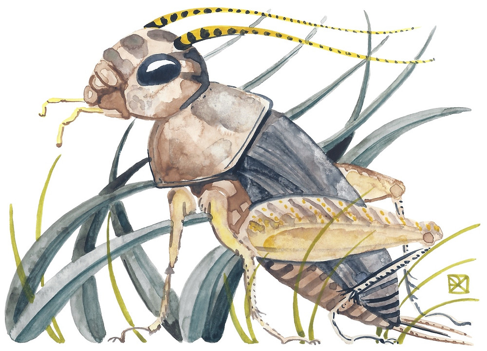 Watercolor Illustration: a field cricket in tall grass.