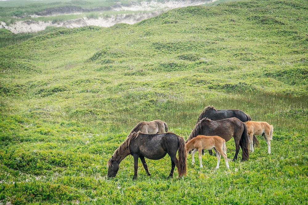 chevaux sauvages de l'île de Sable