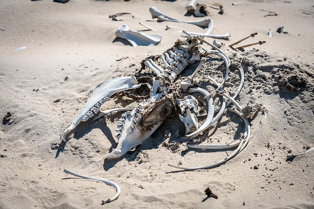 Squelette d'un cheval sauvage