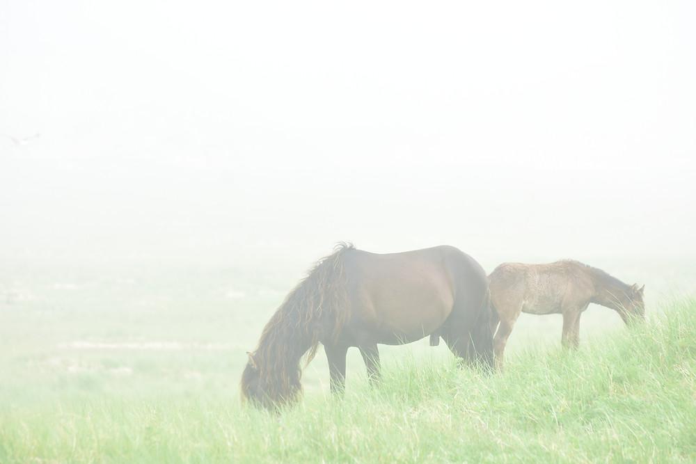 Les chevaux de l'île de Sable dans la brume
