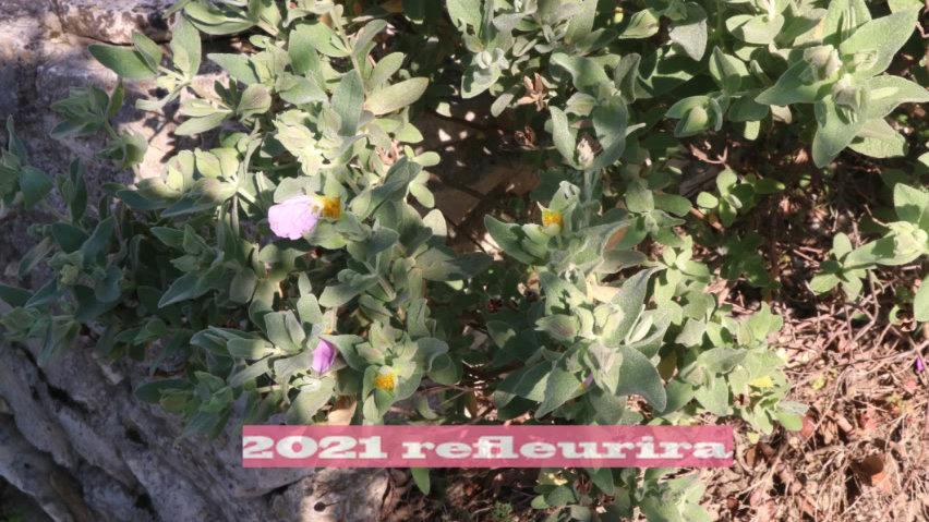 fleurs de sauge