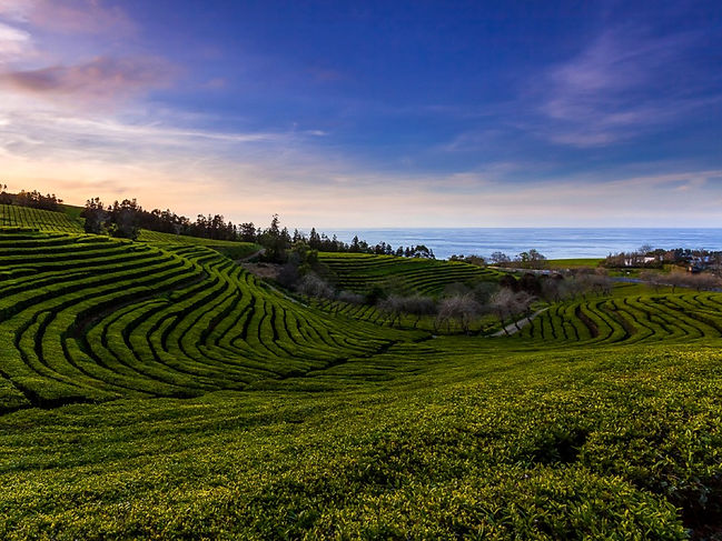 São Miguel is home to the only two tea plantations in Europe