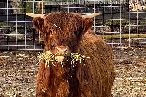Sponsor An Animal - Highland Cows