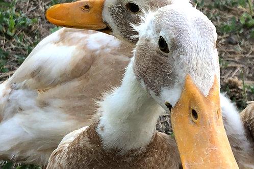 Sponsor An Animal - Ducks