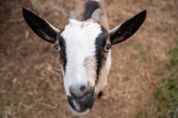 Ivy Rose Farm Goats