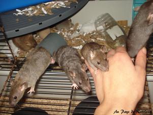 Déjà 5 semaines pour les ratons de Folia et Donuts