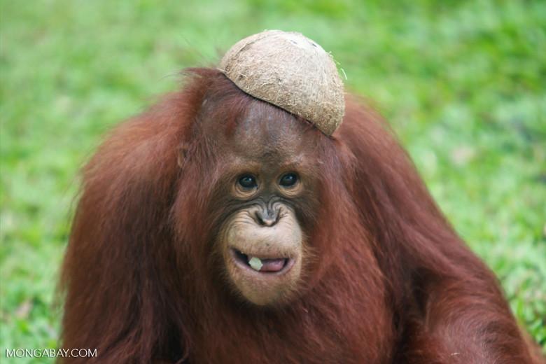 Orangutan with coconut on head.