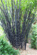 Lesserknown facts about Bamboo as a sustainable and eco-friendly alternative for furniture.