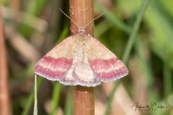 Small Purple-barred Moth