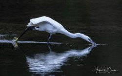 Little Egret / Silkehegre