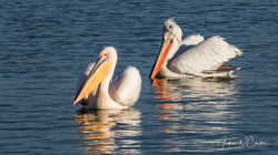Great White & Dalmatian Pelican