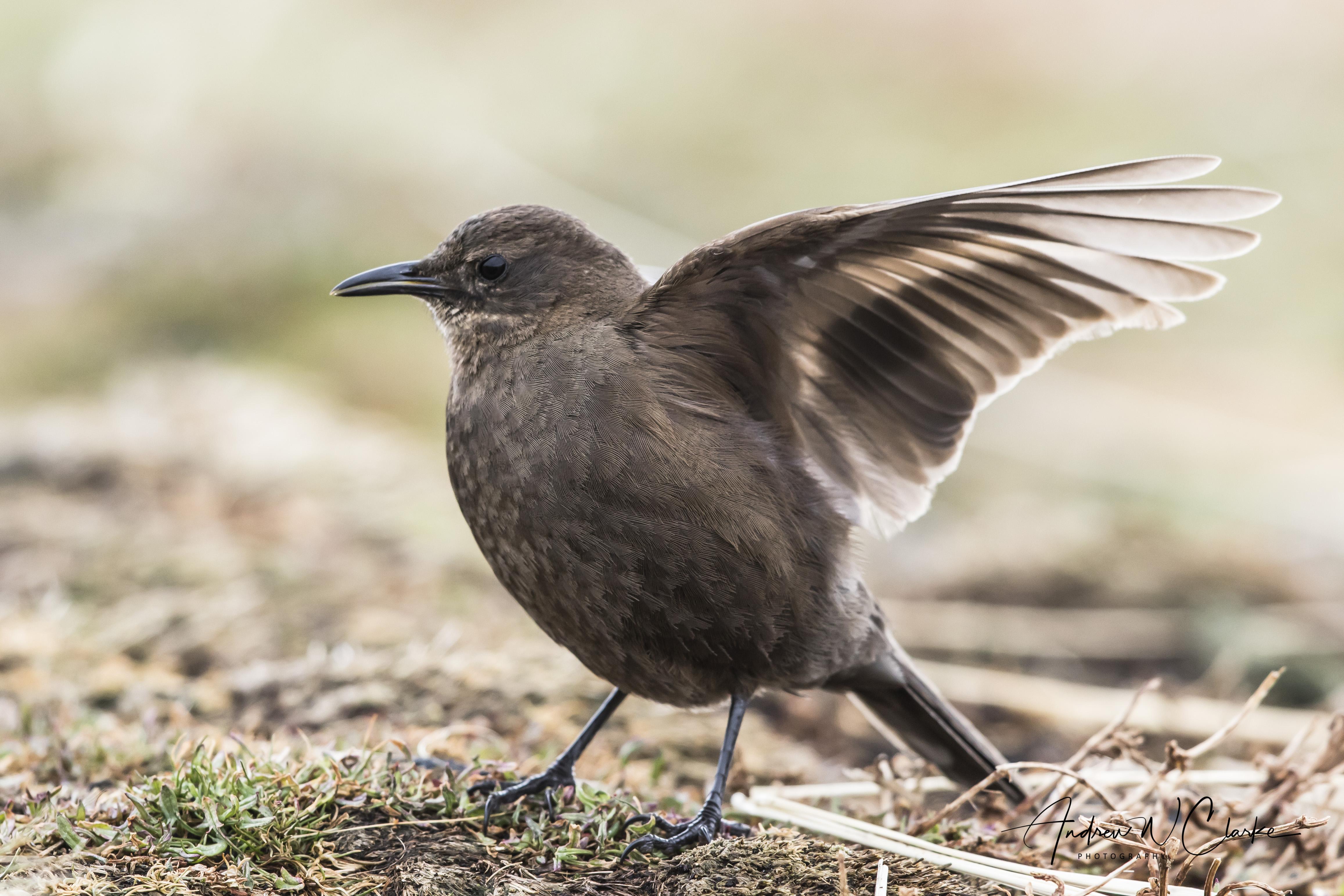 Blackish Cinclodes (Tussacbird)