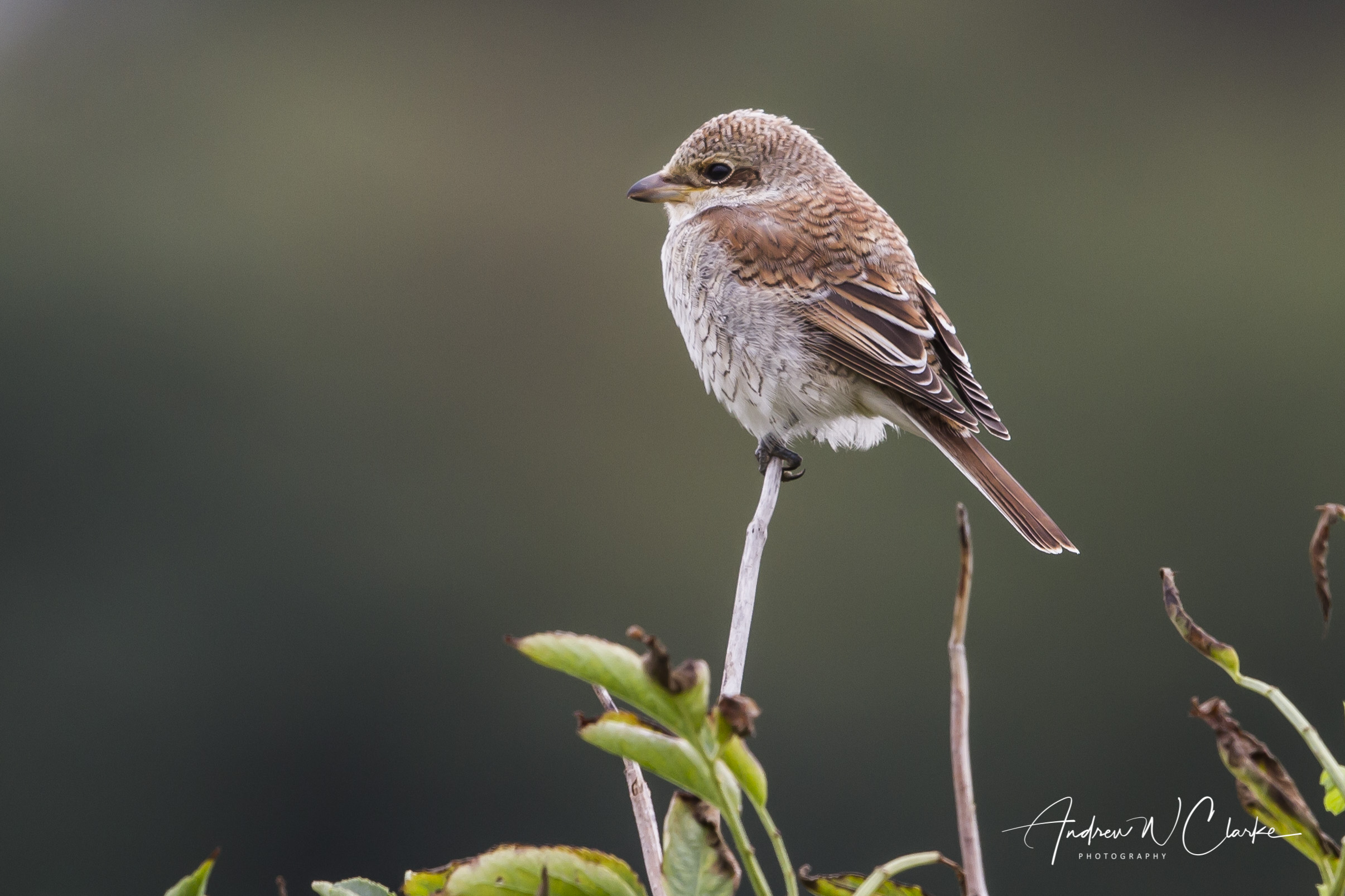 Red-backed Shrike / Tornskate
