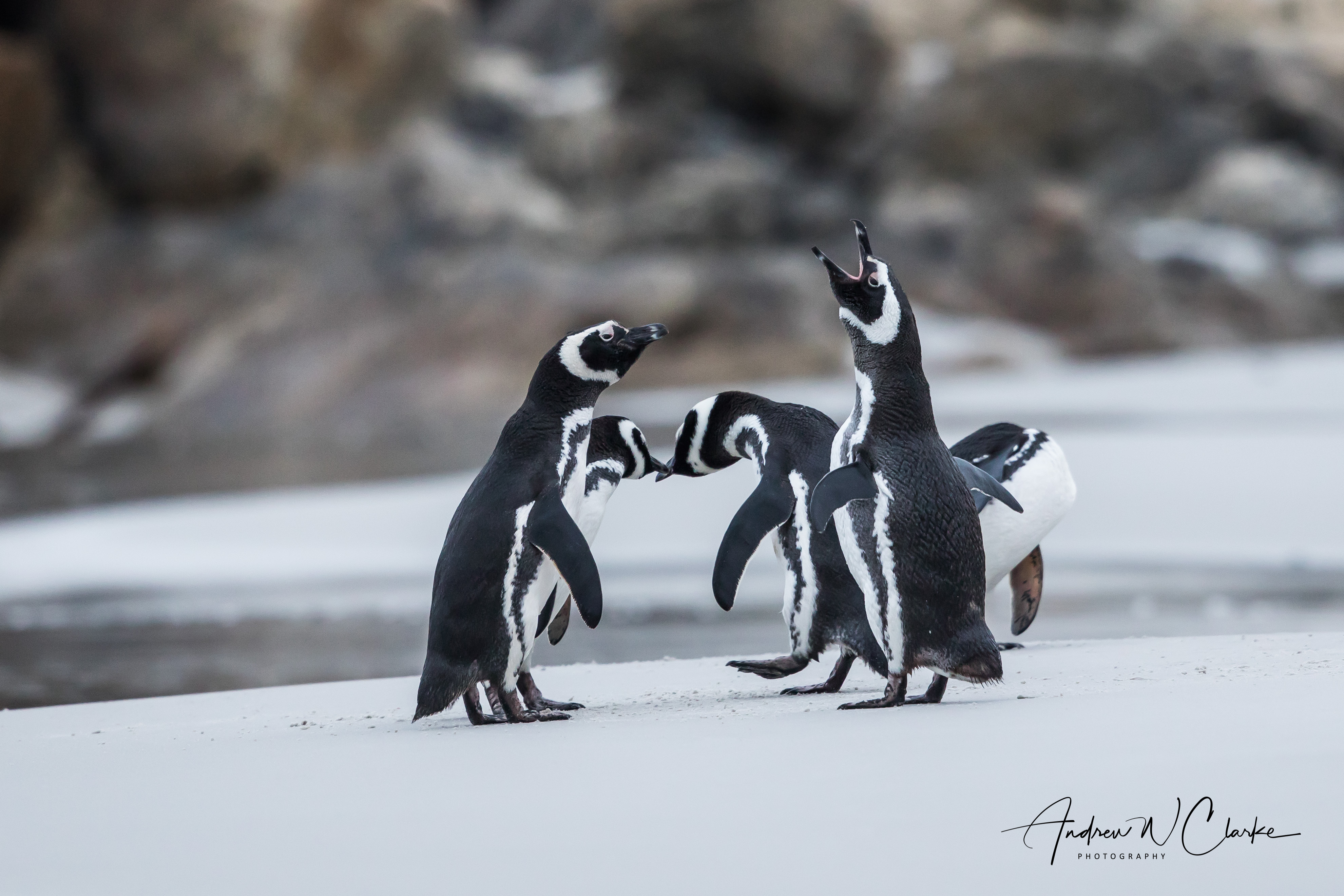 Magallenic Penguin