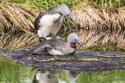 Red-throated Loon / Smålom